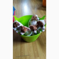 Продам высокопородных щенков Джек Рассел терьера