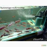 Аквариумная рыба(импорт, разводная) опт, крупный опт.Отправка по Украине