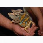 Єменський Хамелеон. Яскраві підростаючі ручні ящірки і малюки