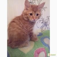Продажа котят Курильский бобтейл