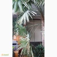 Огромная пальма