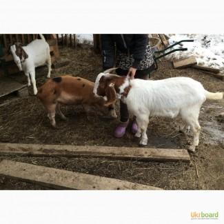 Продажа коз бурской породы