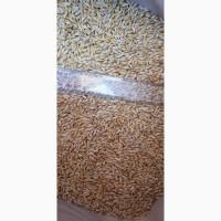 Семена ячменя ADDISON канадский трансгенный сорт (элита)