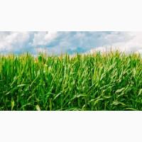 Олена ДН ФАО 440 семена кукурузы