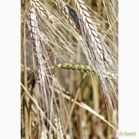 Семена озимого тритикале, сорт Паво. Польша
