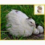 Яйцо инкубационное перепела Техасец - супер бройлер и молодняк
