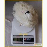 Яйцо инкубационное перепела Техасец - Супер бройлер