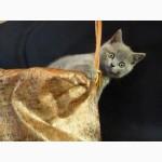 Породистый котенок Scottish Straight голубого окраса (Blue, а), привит, Киев, Святошинский