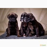 Чистопородные щенки немецкого боксера с отличной родословной