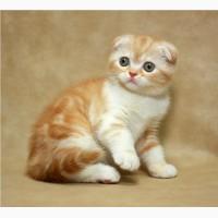 Шотландская вислоухая котенок-девочка