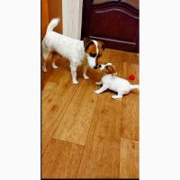 Чистокровные гладкие щенки Джек Рассел Терьер КСУ 2, 5мес