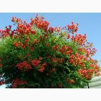 Продам корни Кампсиса имного других растений (опт от 1000 грн)