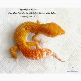 Леопардовый геккон (пятнистый эублефар) Eublepharis macularius