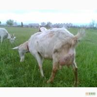 Зааненские козлята