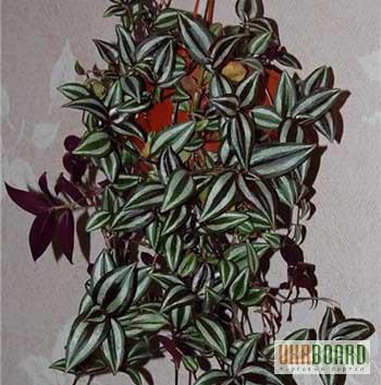 Зебрина фото цветок