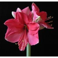 Луковицы гиппеаструма сорта Pink, Star of Holland