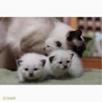 Балинезийские котята (балинез). Кошенята балінеза шукають собі родину