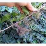 Продам саженцы плюща садового (хедера)