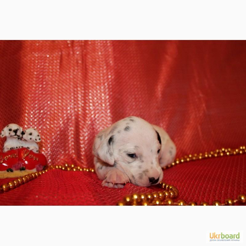 Фото 3/7. Продам цуценят далматина