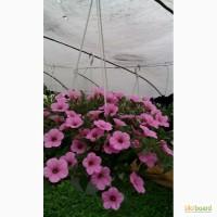 Продам рассаду цветов