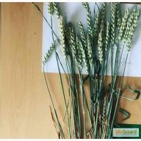 Новелл (Novell), Джерси (JERSEY) семена канадской высокоурожайной пшеницы