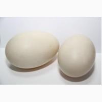 Продаються інкубаційні яйця качки Мулард - утиные инкубационные яйца