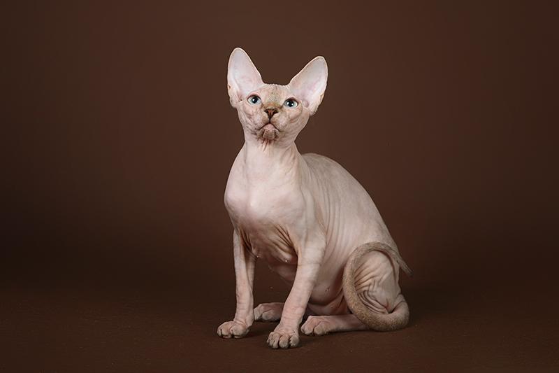 Фото 2/5. Котёнок сфинкс, эльф, бамбино - прекрасное существо