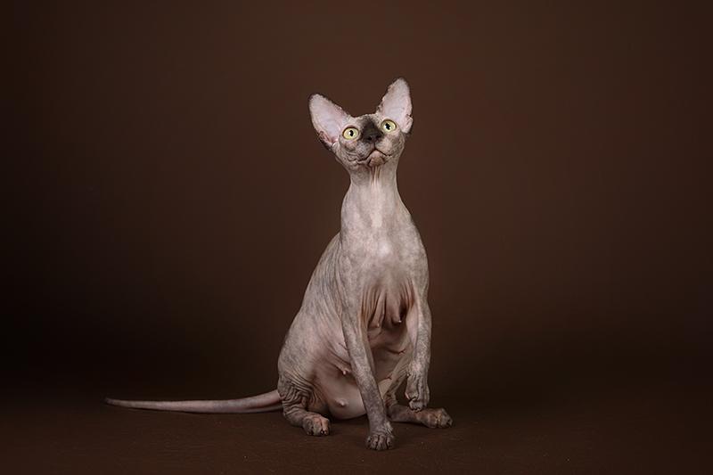 Фото 3/5. Котёнок сфинкс, эльф, бамбино - прекрасное существо