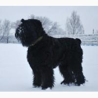 Русский черный терьер- Высокопородные щенки