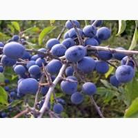 Тёрн ягода (дикая слива) 50 грамм