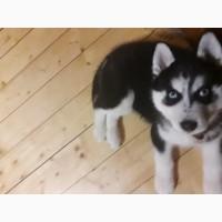 Продам щенка Сибирский Хаски