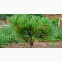 Продам саженцы Кедра и много других растений (опт от 1000 грн)
