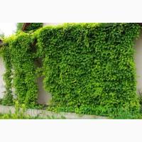 Продам Лимоник Китайский (Лиана) и много других растений (опт от 1000 грн)