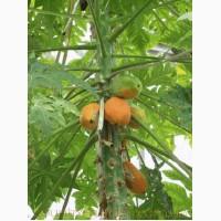 Продам Папайя (комнатное растение) и много других растений (опт от 1000 грн)