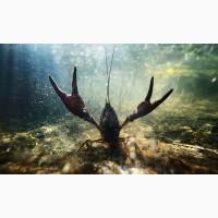 Приглашаем к сотрудничеству рыбаков и заготовителей раков