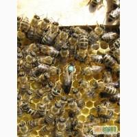 Пчёлы. Пчелиные плодные (меченые) матки и ПП Карпатка. ВСЯ УКРАИНА