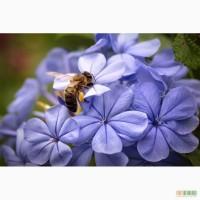 Пчелопакеты – украинская степная, рутовская система
