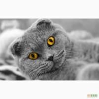 Коты персы, коты породы скоттиш фолд, коты британской породы в Харькове