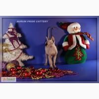 Продажа голубоглазых котят канадского сфинкса, бамбино, эльф
