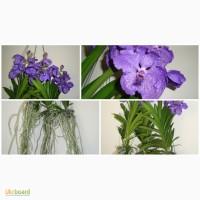 Ванда, Vanda, орхидея Ascocenda Rrincess Mikasa Blue