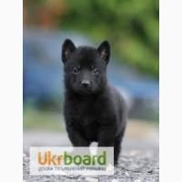 Продам щенков черной немецкой овчарки 1.5 месяцев