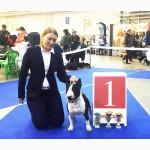 Миниатюрный бультерьер - Супер Гранд Чемпион Украины - вязка