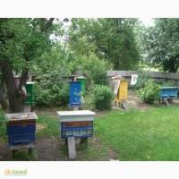 Продю пчел отводки