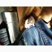 Крысенок дамбо
