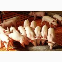 Готовый комбикорм, корма для свиней, поросят, свиноматок