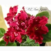 Фиалки сортовые, детка стартер ЛЕ-Лето Красное - огромные красивые цветы