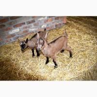 Племенной молодняк коз Альпийской породы. Рождение - ноябрь-декабрь 2018