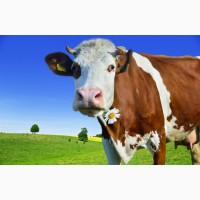 Куплю. корови телята телиці в Черкаській області