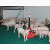 Продаж малих свиней