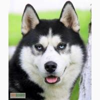 Хаски - голубые глазки, щенки черно-белого и палево-белого окраса на сайте!